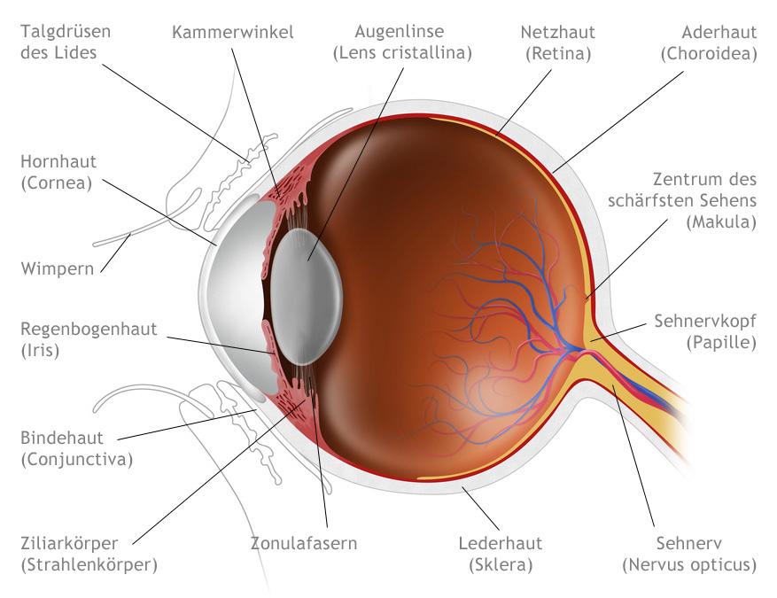 Das Auge - Aufbau und Funktion: Dr. Irmgard Gruber - Augenärztin ...
